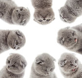 Regard britannique de chatons Photographie stock