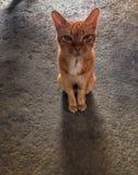 Regard d'animal de compagnie de chat Photos libres de droits