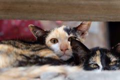 Regard d'animal de compagnie de chat Images stock