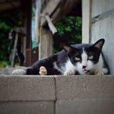 Regard d'animal de compagnie de chat Photographie stock libre de droits