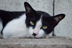 Regard d'animal de compagnie de chat Image libre de droits