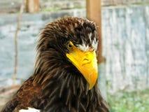 Regard d'Eagle d'un oiseau majestueux photographie stock libre de droits