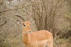 Regard d'impala photos stock