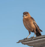 Regard d'oiseau de Brown Image libre de droits