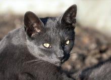 Regard de chat bleu images libres de droits