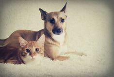 Regard de chat et de chien Image stock