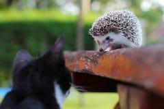 Regard de chat et de hérisson à l'un l'autre Images stock