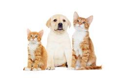 Regard de chaton et de chiot Photo libre de droits