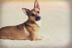 Regard de chien photo libre de droits
