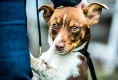 Regard de chien de Brown Photo stock
