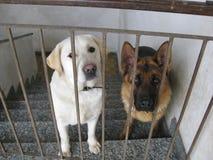 Regard de deux chiens par derrière la balustrade Image stock