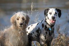 Regard de deux chiens/regardant fixement Image stock