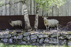 regard de deux moutons à vous Photo stock