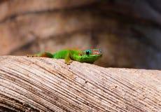Regard de gecko Photo stock
