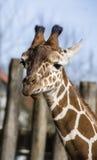 Regard de girafe Photographie stock libre de droits
