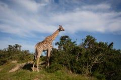 Regard de girafe des arbres images libres de droits