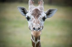 regard de giraffe d'appareil-photo Photo libre de droits