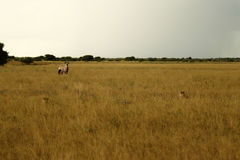 Regard de guépards de Gemsbok Photo libre de droits