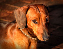 Regard de interrogation doux de Dachshund miniature Photos libres de droits