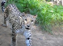 Regard de jaguar Photo stock