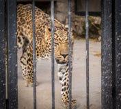 Regard de léopard à travers le plan rapproché de cage Image stock