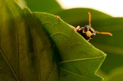 Regard de l'abeille image libre de droits