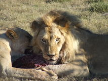 Regard de lions Images libres de droits