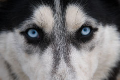 Regard de loup Photos stock