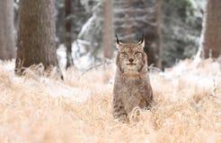 Regard de Lynx Images libres de droits