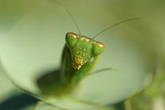 Regard de Mantis Images libres de droits
