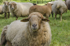 regard de moutons Image stock