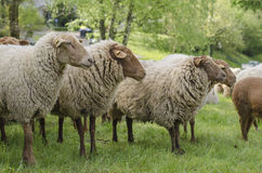 regard de moutons Photos libres de droits