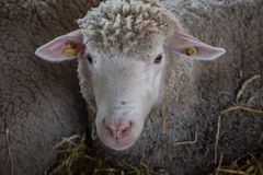 regard de moutons Images libres de droits
