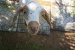 Regard de moutons de bébé Images libres de droits