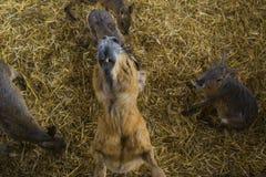 Regard de Patagonian Mara photographie stock libre de droits