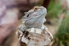 Regard de Pogona photographie stock