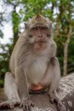 Regard de portrait de singe images stock