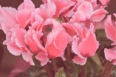 Regard de vintage d'usine de floraison de cyclamen Images libres de droits