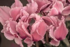 Regard de vintage de cyclamen rose de floraison de couleur Image stock