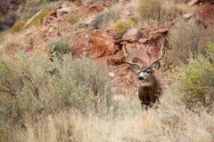 Regard des cerfs communs Photo stock
