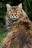 Regard du chat de ragondin du Maine Photographie stock