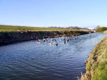 Regard en bas de la rivière aux oies de Canada photos libres de droits