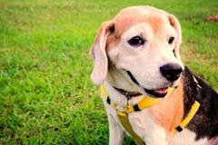 Regard et sièges de chien de briquet sur le vert d'herbe photo libre de droits