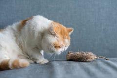 Regard exotique de chat de shorthair à la fausse souris Photo stock