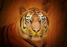 Regard fixe animal de tigre dans le sauvage Photographie stock