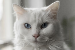 Regard fixe blanc de blanc du ` s de chat Photographie stock libre de droits