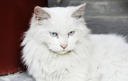 Regard fixe blanc de chat Photo stock
