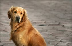 Regard fixe chien d'arrêt-éloigné d'or Photographie stock