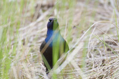Regard fixe commun de Grackle Photographie stock libre de droits