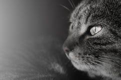 Regard fixe curieux de chat Image libre de droits